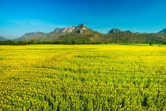 Aerial Photograph of Sunflower Field at Khao Chin Lae, Lop Buri